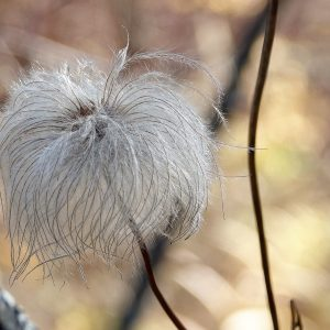 Clematis gone to seed
