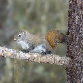 Squirrel serenity